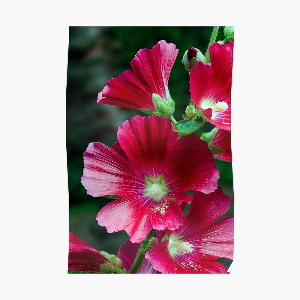 Deep red Hollyhock flowers Poster