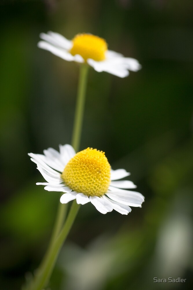 A Pair of daisy flowers by Sara Sadler