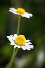 A Pair of daisy flowers by Sara Sadler