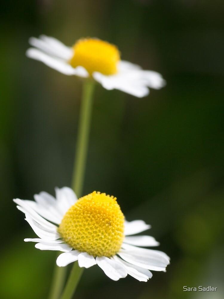 A Pair of daisy flowers by sadler2121