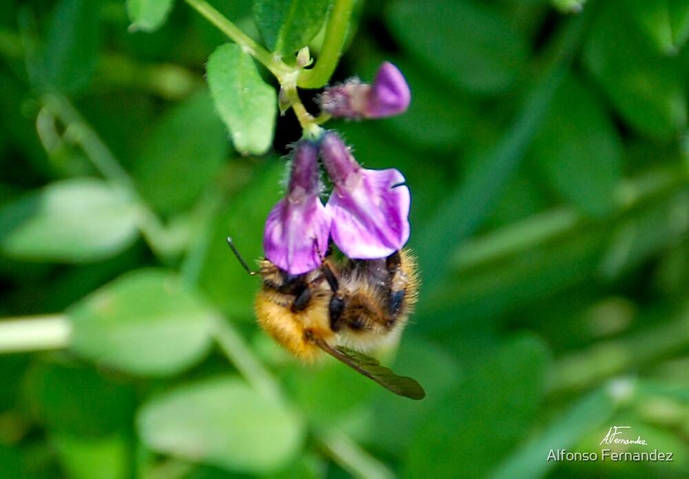 Honey Bee 1 by Alfonso Fernandez