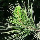 Pine Shoot by lezvee
