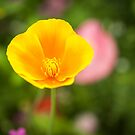 California Poppy 2017-1 by Thomas Young