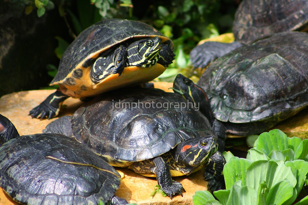 Yellow-bellied terrapins by jdmphotography