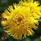 "Australian Native Flower ""Isopogon"" by Evita"