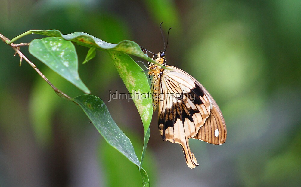 Swallowtail Butterfly by jdmphotography