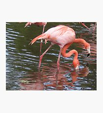 Flamingo - two heads are better than one Photographic Print
