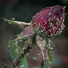 Aphids on Red Rose bud Leith Park Victoria 20170518 0552  by Fred Mitchell