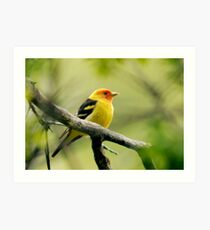 Western Tanager II Art Print