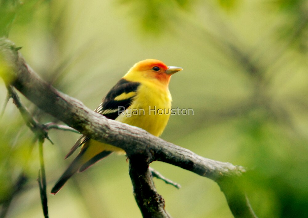 Western Tanager II by Ryan Houston