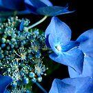 Hydrangea - Lacecap by Jonicool