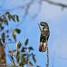Red-tailed Black Cockatoo - Casterton VIC  (3009) by Emmy Silvius