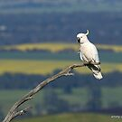 Sulphur-crested Cockatoo  (8207) by Emmy Silvius