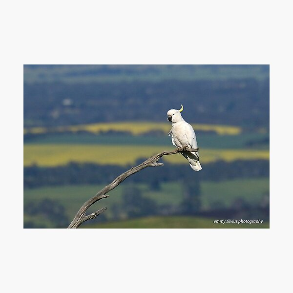 Sulphur-crested Cockatoo  (8207) Photographic Print