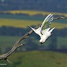 Sulphur-crested Cockatoo  (8212) by Emmy Silvius
