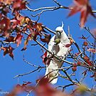 Sulphur-crested Cockatoo  (4274) by Emmy Silvius