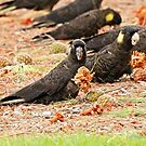 Yellow-tailed Black Cockatoo  (802) by Emmy Silvius