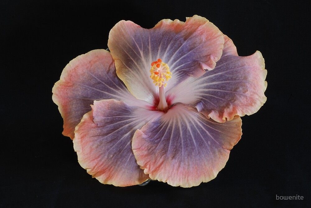 """""""Hibiscus"""" by bowenite"""