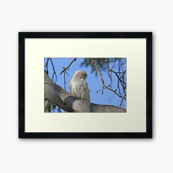 Little Corella  (975) Framed Art Print