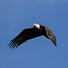 OC Bald Eagle Flying With Grace by DARRIN ALDRIDGE