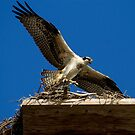 Osprey's First Flight by DARRIN ALDRIDGE