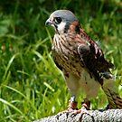 Sparrow Hawk by edlogsdon