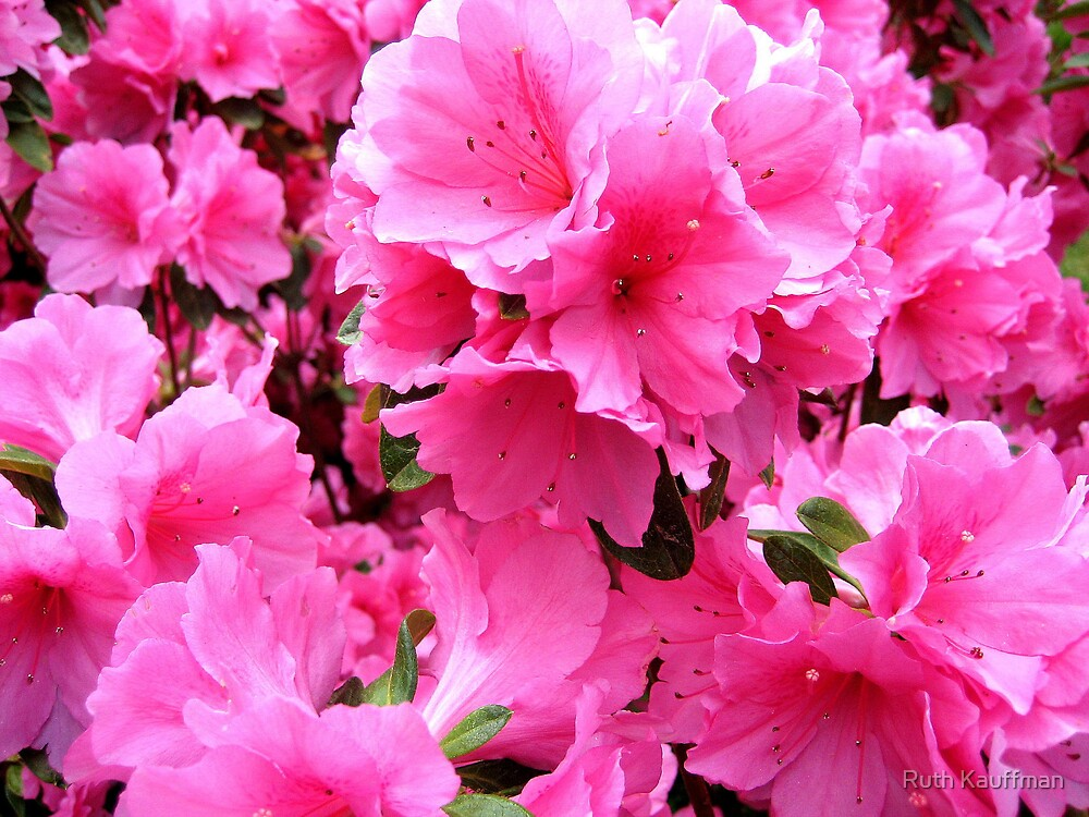 """Majestic Pink"" by Ruth Kauffman"