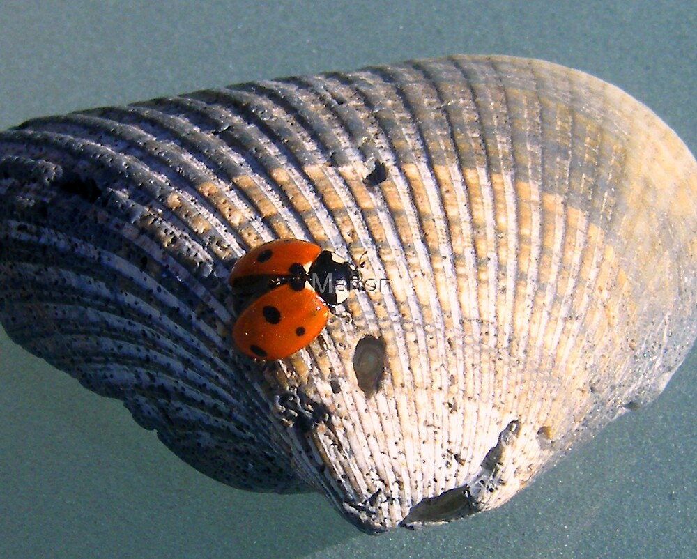 Ladybug on a shell by Manon