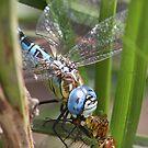 Aeshna affinis devouring darter! by DragonflyHunter