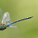 Aeshna affinis male in flight by DragonflyHunter