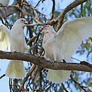 Little Corella and Long-billed Corella  (1039) by Emmy Silvius