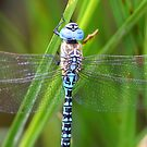 Aeshna affinis male perched by DragonflyHunter