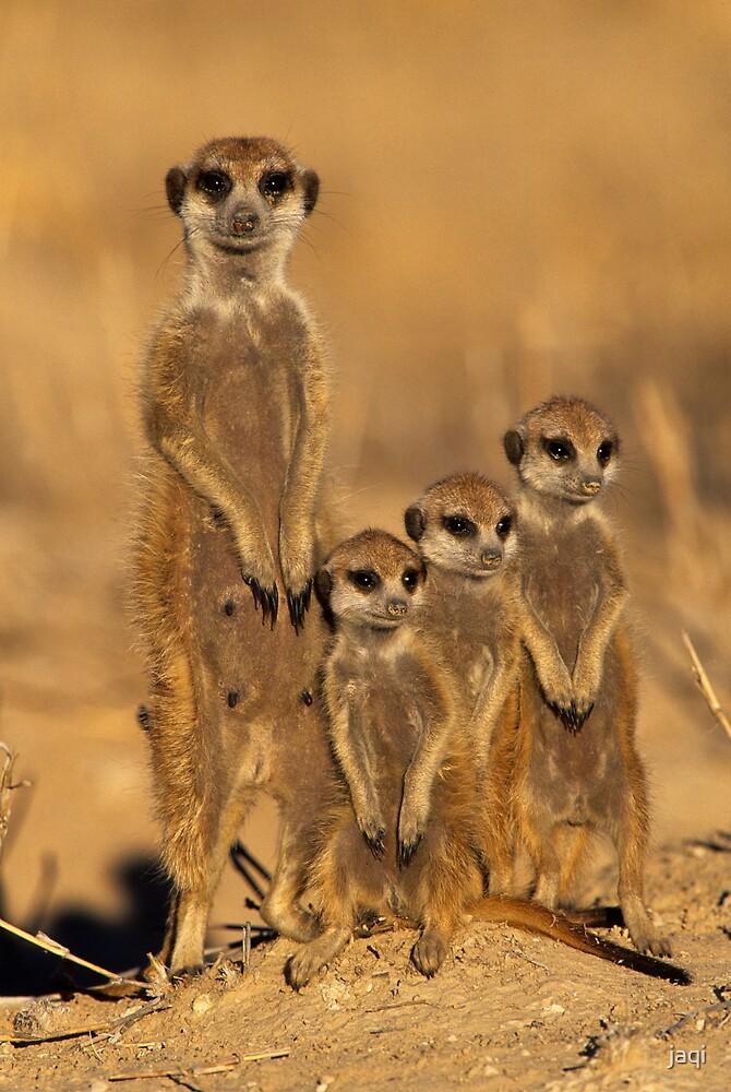Meercat Trio by jaqi