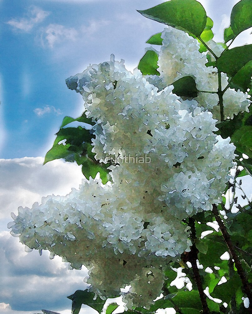 white lilac by cynthiab