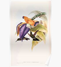 A monograph of the Trochilidæ or family of humming birds by John Gould 1861 V2 062 Aphantochroa Cirrochloris Poster