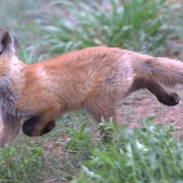 Baby Fox by livehonestly
