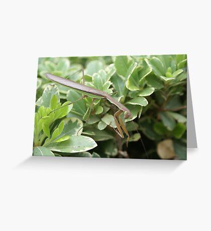 Mantis as is; La Mirada, CA USA Greeting Card