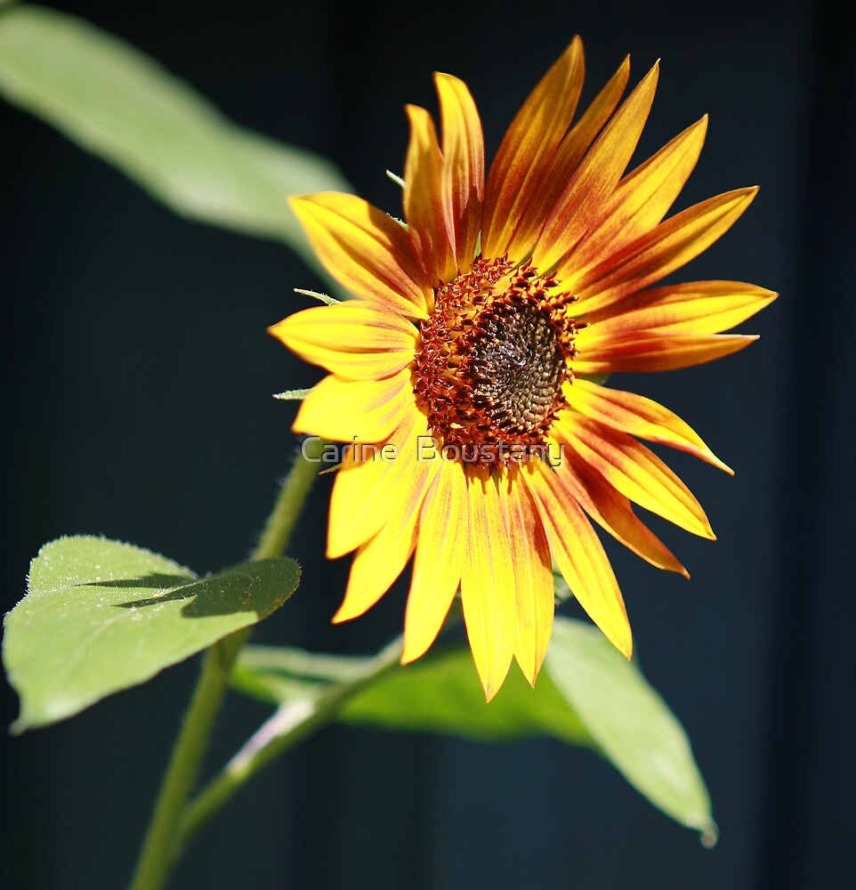 Sunflower 2 by Carine  Boustany