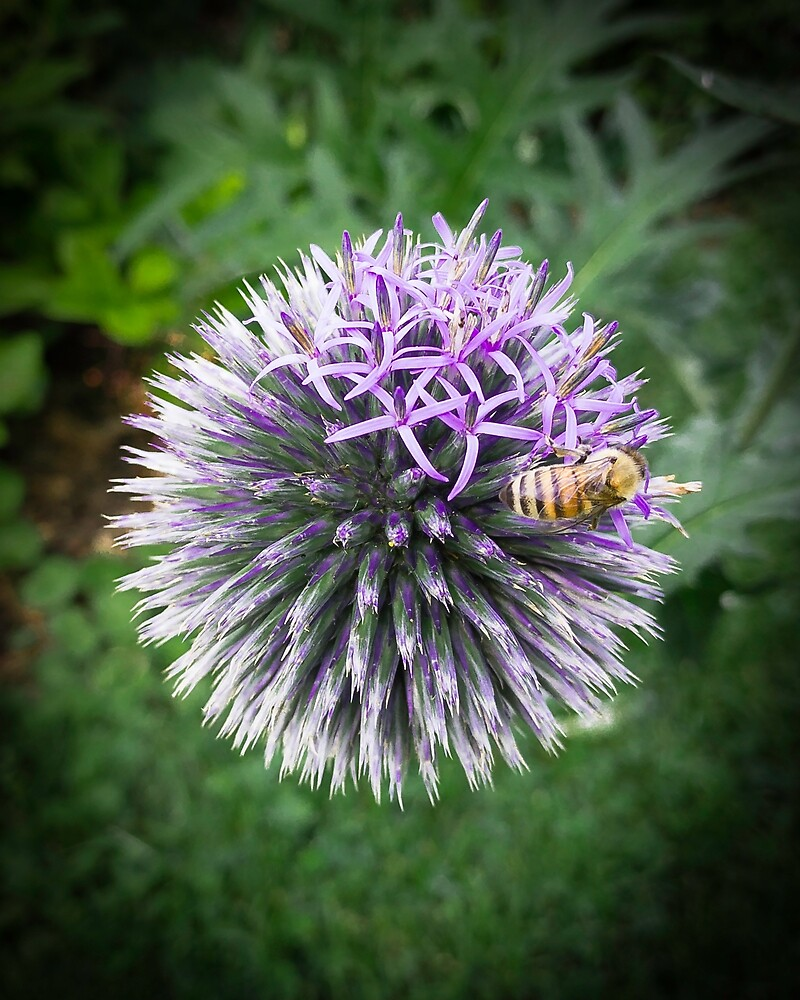 Globe Thistle with Bee by Gary Hoare