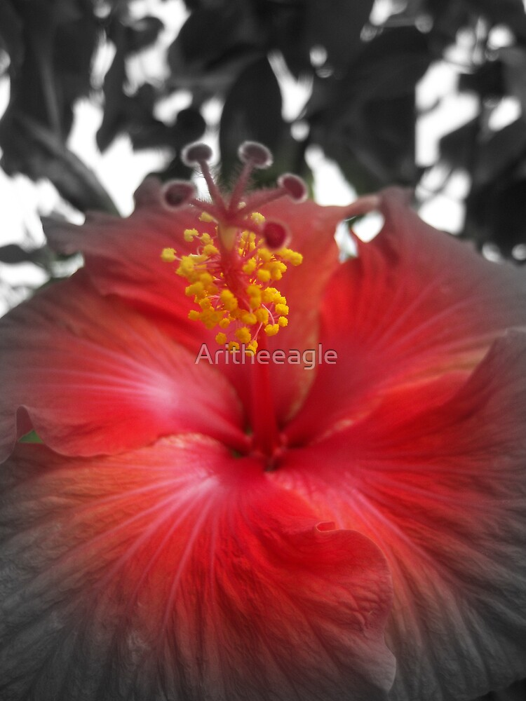 """NATURE: .. """"HIBISCUS ADORNMENT"""" by Aritheeagle"""
