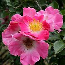 English Roses by shutterbug3070