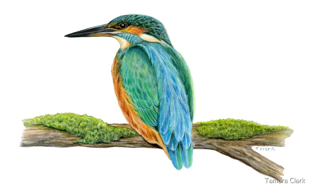 Common Kingfisher (Alcedo atthis) by Tamara Clark