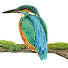 Common Kingfisher (Alcedo atthis) by Tamara Clark