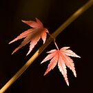 Maple Leaves by prbimages