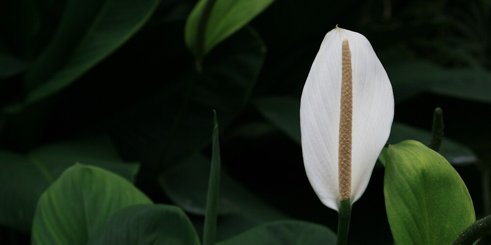 Peace Lily, Singapore by Leigh Penfold