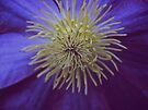 Center of a Clematis Flower by lindsycarranza