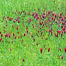 Red Clover Field of Texas & Arkansas by Deborah Crew-Johnson
