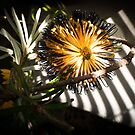 Banksia Still Life by Clare Colins