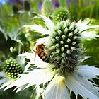 Eryngium and bee by David Tovey