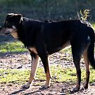 Bert, portrait of a working kelpie by Mark Batten-O'Donohoe